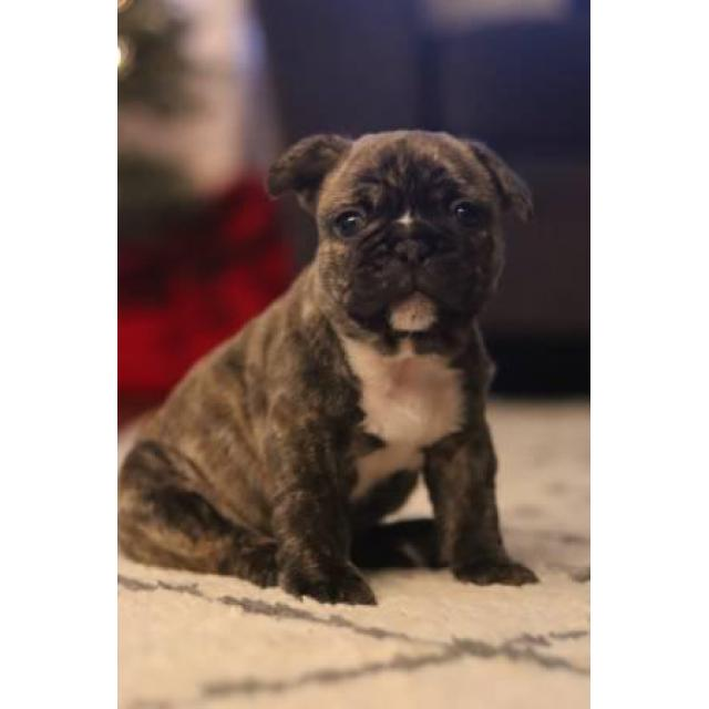2 Male Frenchies Still Available In Columbus Ohio Puppies For Sale Near Me