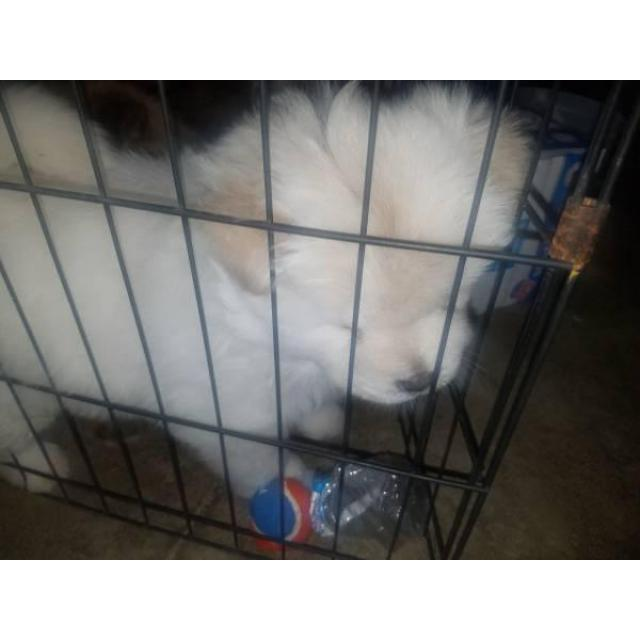 6 week old chow chow puppies for sale in Mansfield , Ohio