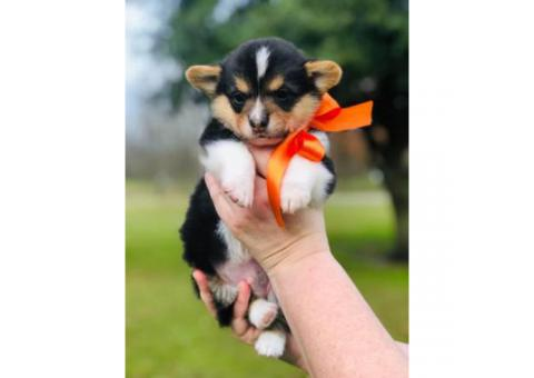 Cutest AKC Corgi Puppies for Sale