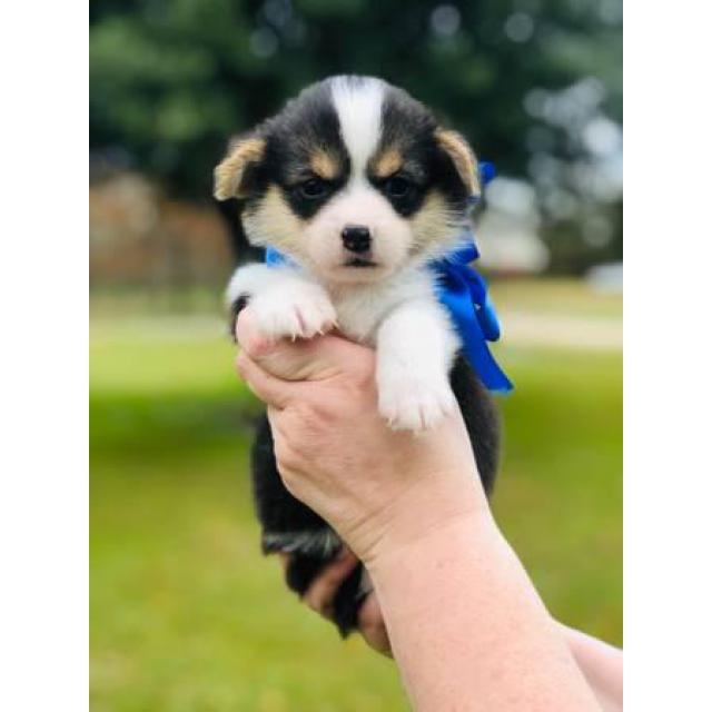 Cutest AKC Corgi Puppies for Sale in Lake Charles ...