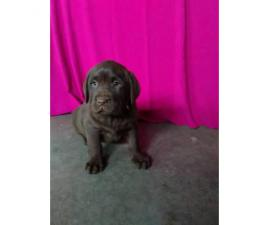 9 weeks old lab puppy AKC vet checked