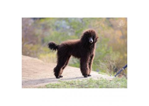 2  beautiful black Standard Poodle female puppies available for you