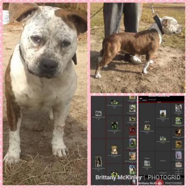2 Male American Bully Puppies Left 7 Weeks Old Today In Florence South Carolina Puppies For