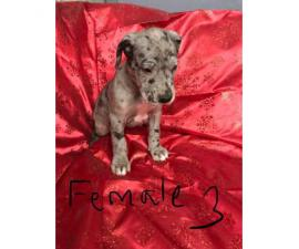 Great Dane puppies M/F Not registered