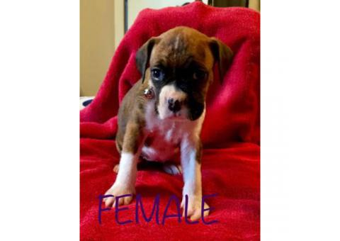 Purebred Boxer Puppies for sale, 2 Females Left