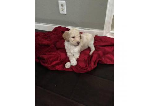 3 poodle puppies searching for a good home (all males)