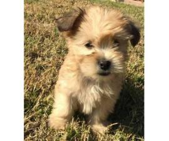 2 boy Maltese shih tzu puppies for sale