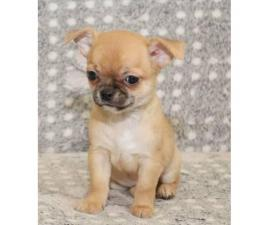 3 beautiful teacup chihuahua puppies now ready for new homes
