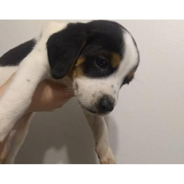 Jack Russellbeagle Mix Puppies Ready For Rehome In Nashville