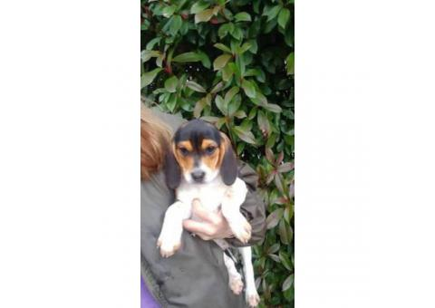 Beautiful tricolor purebred beagle puppies