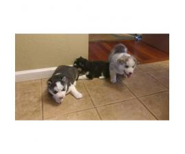 6 husky puppies for sale, 3 male 3 female 1 month old