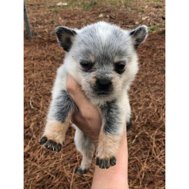 Standard Blue Heeler Puppies One Male And Two Females In Birmingham