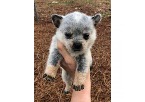 Standard Blue Heeler Puppies one male and two females