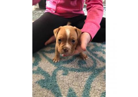 American Bully puppies  ABKC registered