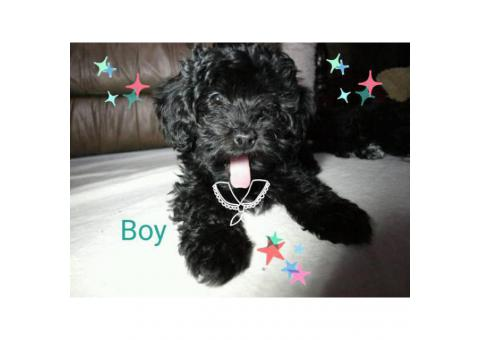 Hava-poo puppies asking $800