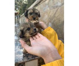 Gorgeous Maltese/Yorkshire terrier puppies