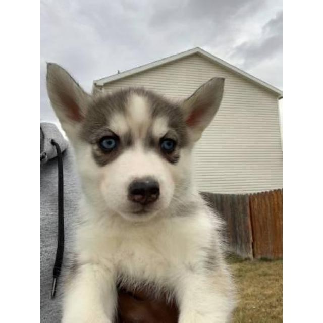 8 Little Husky Pups 4 Girls And 4 Boys In Eagle Colorado Puppies