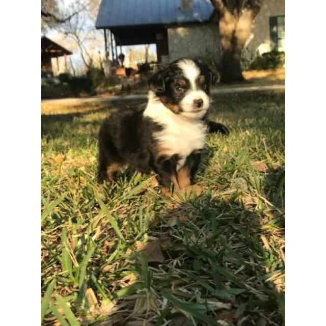 Miniature Australian Shepherd Puppies 2 Females And Two Males In San