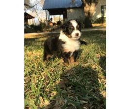 Miniature Australian Shepherd Puppies 2 females and two males