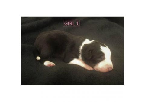 beautiful purebred border collie puppies available
