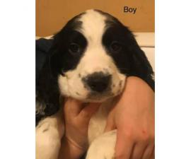 AKC Reg English Springer Spaniel puppies, all set for their forever home