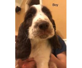 Akc Reg English Springer Spaniel Puppies All Set For Their Forever Home In Chico California
