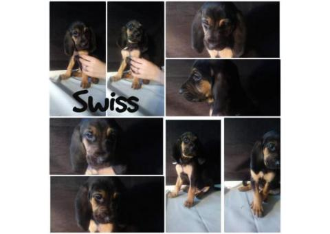 Bloodhound puppies Fully registered with AKC