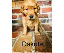 3 female and 5 male golden retriever puppies