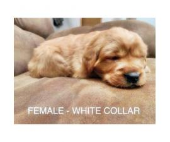 AKC Registered Golden Retriever family raised puppies