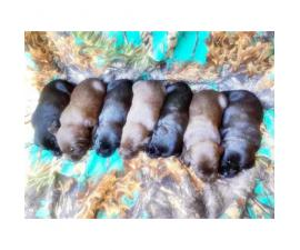 AKC Lab Puppies 3 Chocolate Males and 4 black females