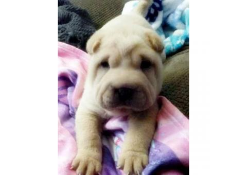 7 weeks old AKC Chinese Shar-pei male puppy