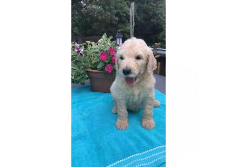 F1b golden doodles available $1000