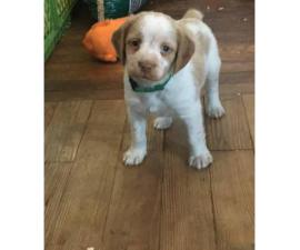 Orange and white Brittany puppies