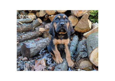 4 male CKC bloodhound puppies available