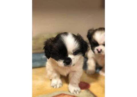 2 months old Hypoallergenic non shedding beautiful shihtzu puppies