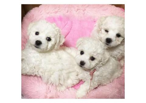Goldendoodle puppies for adoption, 2 Males and 1 female