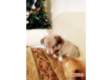 11 week old male Pomchi puppy