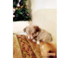 11 week old male Pomchi puppy