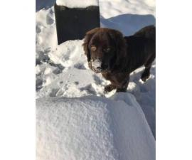 New foundland pup for sale  almost 5 months old