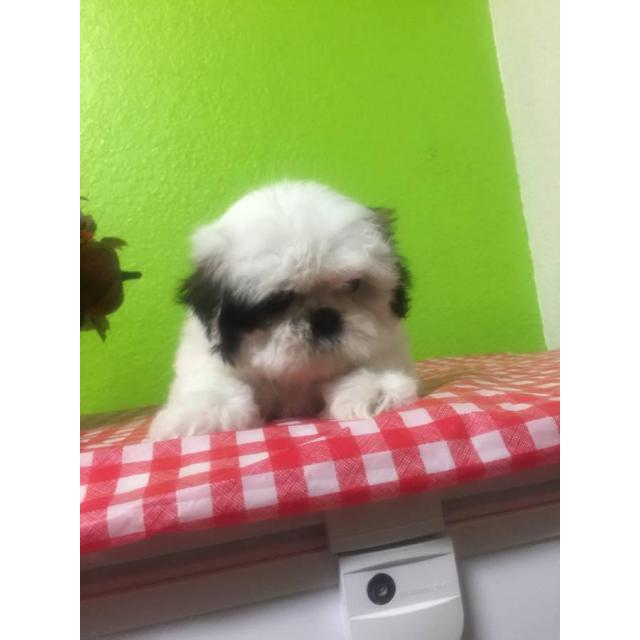 2 Month Old Shihtzu Pups For Sale In Belen New Mexico Puppies