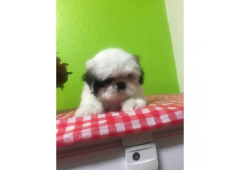 2 month old Shihtzu pups for sale