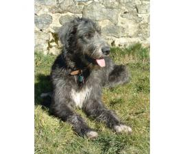 Irish Wolfhound Puppies Available