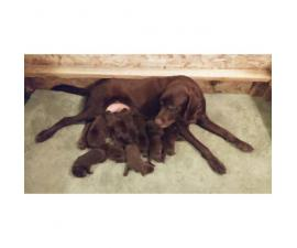 Registered AKC Labrador puppies great family dog