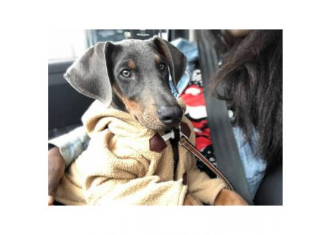 2 darling female Blue Doberman puppies