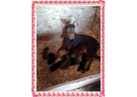 7 beautiful doberman puppies looking for great homes