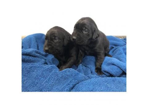 Black and Yellow Labrador puppies with AKC Reg.