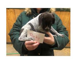 2 males German Wirehaired pointer pups left
