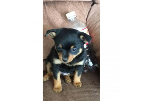 3 Pomeranian Chihuahua cross puppies