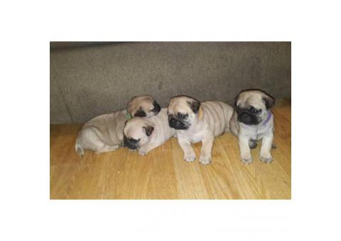 100% pure pug puppies for sale, 3 boys and 5 girls