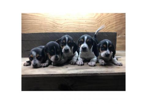 8 weeks old eating independently Beagle puppies